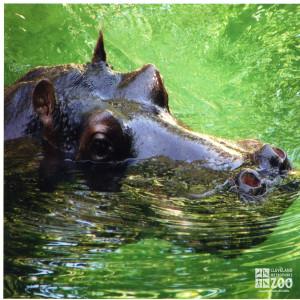 Hippo, Blackie  Upclose 6