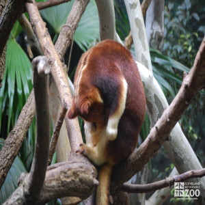 Goodfellow's Tree Kangaroo Looks Down