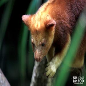 Goodfellow's Tree Kangaroo Looks Down 2