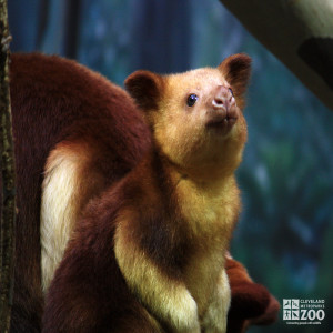 Goodfellow's Tree Kangaroo Looks Up