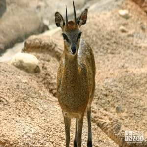 Klipspringer on Monkey Island 3