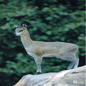 Klipspringer on Monkey Island 5