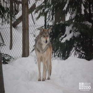 Mexican Grey Wolf in Snow Looks Forward