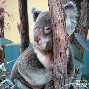 Koala Leaning on a Tree