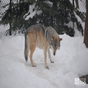 Mexican Grey Wolf in Snow