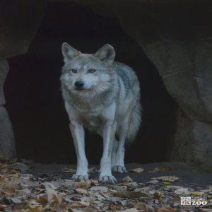Mexican Wolf Faces Forward