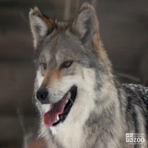 Mexican Grey Wolf in Snow Close Up