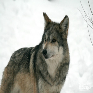 Mexican Grey Wolf Looks Sideways
