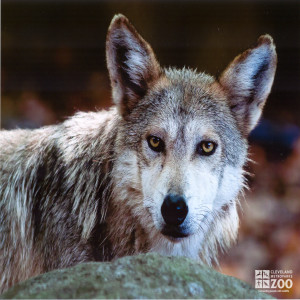 Mexican Grey Wolf Side Shot Looking Forward