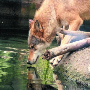 Mexican Grey Wolf Takes a Drink