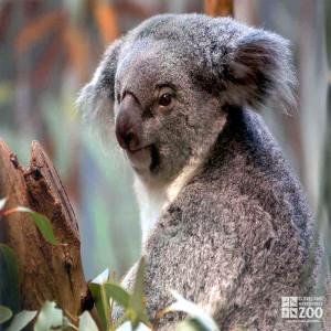 Koala with Fuzzy Ears