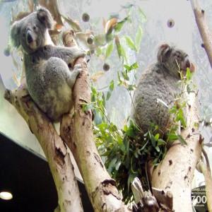 Koalas Two in Tree