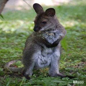 Bennett's Wallaby Standing