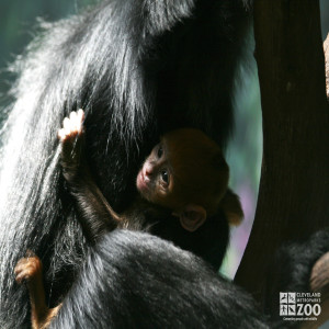 Francois Langur with Baby