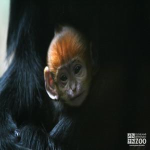 Francois Langur Baby