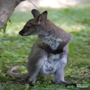 Bennett's Wallaby Standing Looking to Side