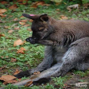Bennett's Wallaby Sitting