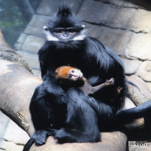 Francois Langur with Baby (3)