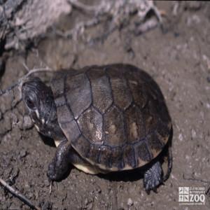 Blanding's Turtle Hatchling