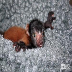 Red Ruffed Lemur Baby Hanging On
