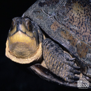 Blanding's Turtle Looks Forward