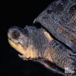 Blanding's Turtle Profile
