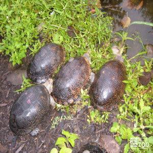 Blanding's Turtle Release in Lake