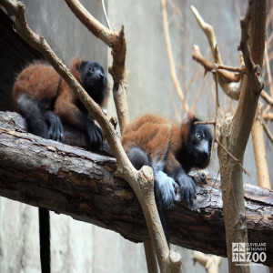 Red Ruffed Lemurs Two on a Log