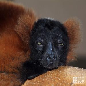 Red Ruffed Lemur Face
