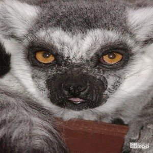 Ring Tailed Lemur Face Up Close