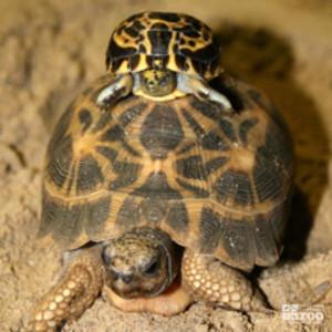 Madagascan Spider Tortoise
