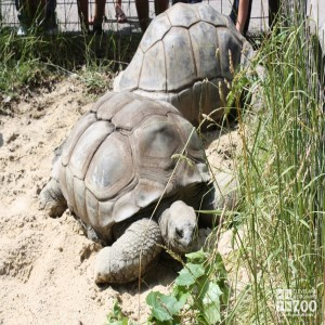 Aldabra Tortoises in Sand