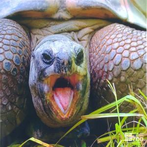 Aldabra Tortoise Open Mouth