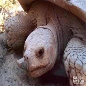 Aldabra Tortoise Looks Forward