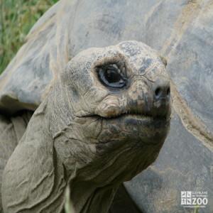Aldabra Tortoise Head