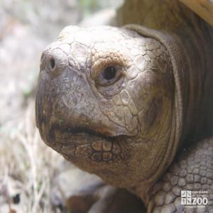 Aldabra Tortoise Head 2