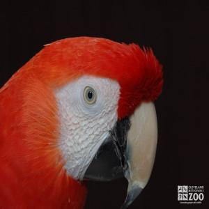 Scarlet Macaw Eye Close Up