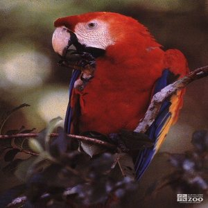 Scarlet Macaw Looks Left