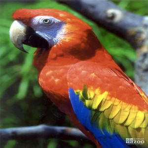 Scarlet Macaw Looks Left 2
