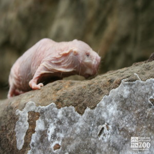 Naked Mole-Rat Ascending