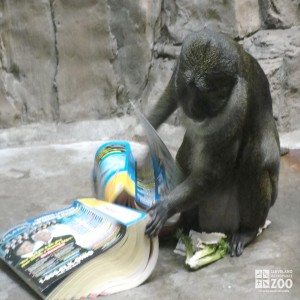 Allen's Swamp Monkey with Phone Book