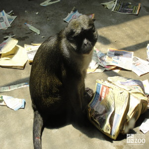 Allen's Swamp Monkey with Phone Book 4