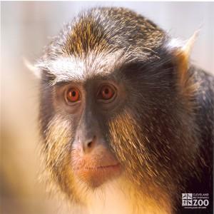 Allen's Swamp Monkey Close Up 2