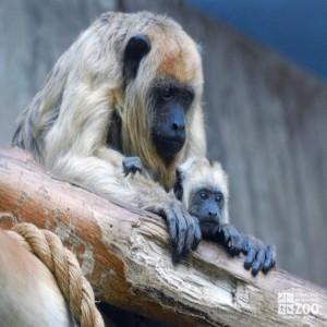 Black Howler Monkey and Infant