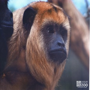 Black Howler Monkey Close Up