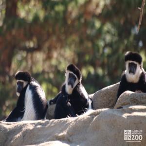 Colobus Monkeys Three Sitting