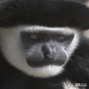 Colobus Monkey Close Up