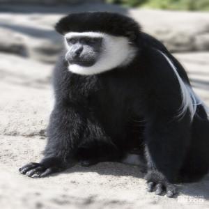 Colobus Monkey Looks Left