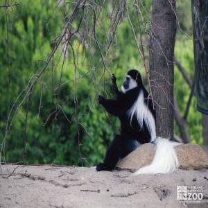 Colobus Monkey Pulls Branches