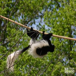 Colobus Monkey on Rope